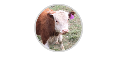 Apple Gully Miniature Herefords