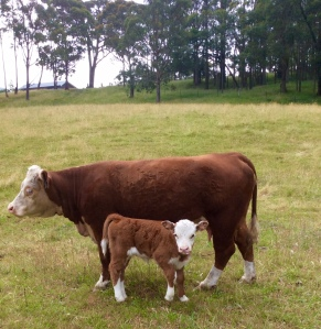 hereford -mother & calf