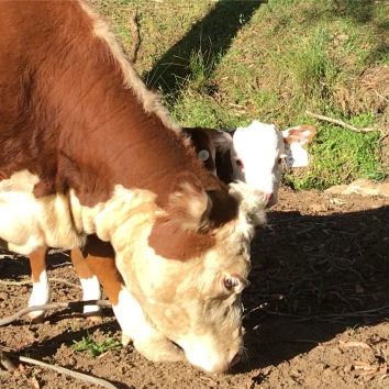 Herefords Newborn mini Hereford 11:17